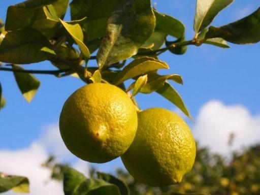 06 lemon_512.jpg